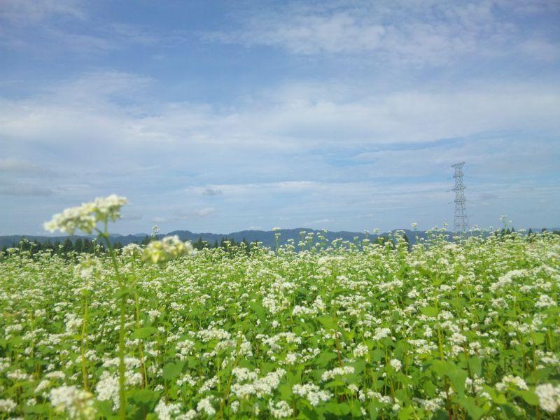 山本山高原のそば畑
